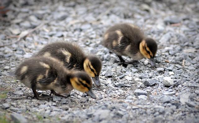 Groupement 4 Saisons Recherche un(e) ouvrier avicole F/H